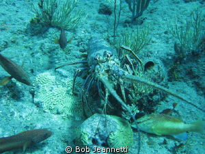 Spiny lobster and groupers by Bob Jeannetti 